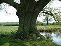 Old Oak next to Pond at Edolphs Farm - geograph.org.uk - 24497.jpg