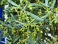Olea 3x europaea cultivar Lucquier.JPG