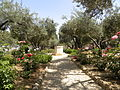 Olive trees in the traditional garden of Gethsemane (6409618795).jpg
