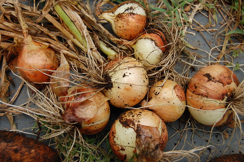 File:Onion harvest.jpg