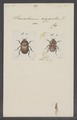 Onitis - Print - Iconographia Zoologica - Special Collections University of Amsterdam - UBAINV0274 019 08 0005.tif