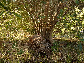 Onkaparinga River National Park - An echidna under an olive tree