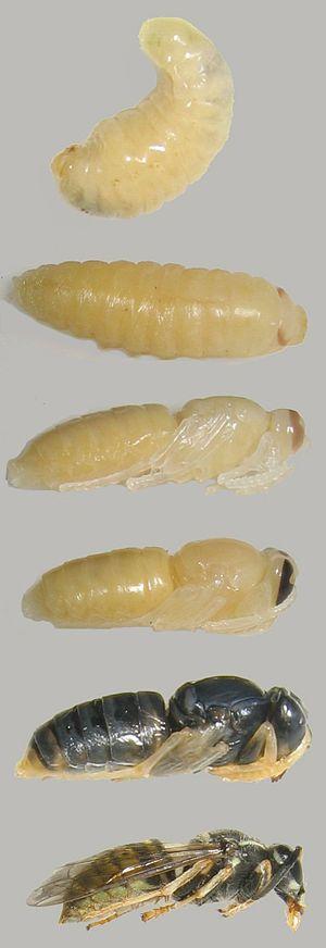 Holometabolism - Hymenoptera holometabolism