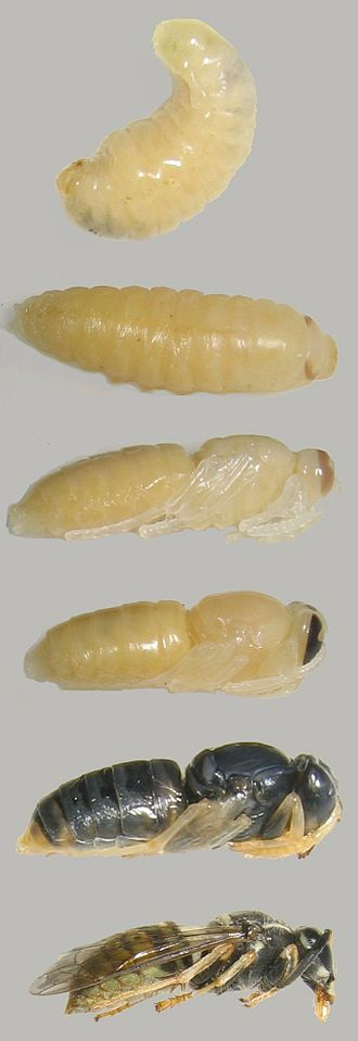 Holometabolism - Lifestages of a holometabolous insect. Egg is not shown. Third, fourth, and fifth images depict different ages of pupae.