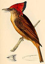 Onychorhynchus coronatus coronatus 1841