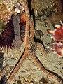 Ophioderma longicauda 13693494.jpg