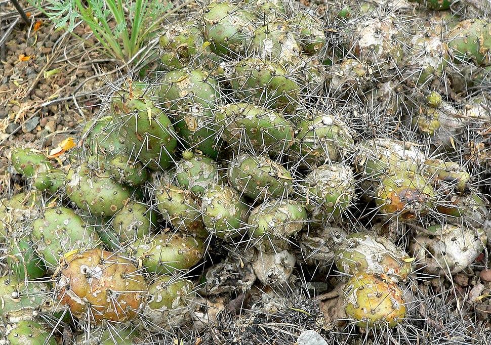 Opuntia fragilis 1