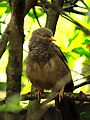 Orange-billed Babbler - Sri Lanka - 02.jpg
