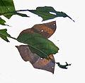 Orange Oakleaf (Kallima inachus) at Samsing, Duars, West Bengal W IMG 6228.jpg
