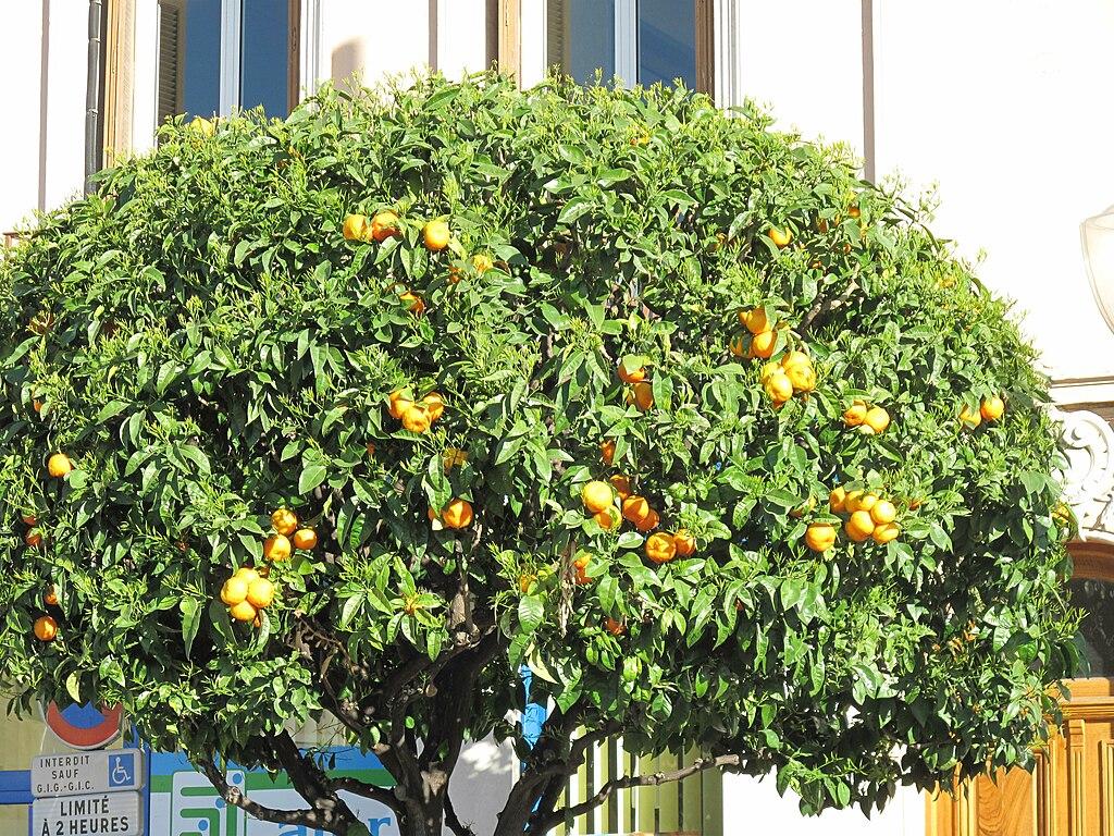 File orange tree in wikimedia commons for Viveros en lima