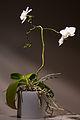 Orchid in pot.jpg