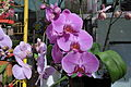 Orchids on La Rambla (3394912363).jpg