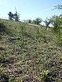 Orchis purpurea sl43.jpg