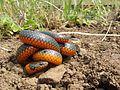 Oregon Ringneck Snake (14000008410).jpg