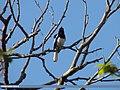 Oriental Magpie Robin (Copsychus saularis) (15271695314).jpg