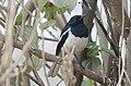 Oriental magpie-robin (Copsychus saularis) 02.jpg