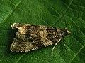 Orthotaenia undulana (40580964594).jpg