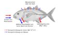 Osmoseragulation Carangoides bartholomaei bw.png