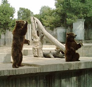 Zoo Aquarium de Madrid - Brown bear cubs in the Madrid Zoo Aquarium