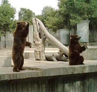 Zoo Aquarium de Madrid - Brown bear cubs in the Madrid Zoo Aquarium
