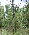 Oude boom in de Biesbos.JPG