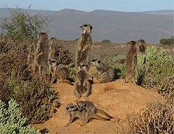 Une famille de suricates, en Afrique du Sud