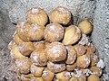 P1030157-fungus-on-Robinia-acacifolia.JPG