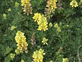 P20130507-0145—Lupinus arboreus—Point Reyes (8742041482).jpg