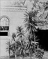 PSM V43 D820 Yucca aloifolia.jpg