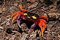 Pacific land crab (Gecarcinus quadratus).jpg