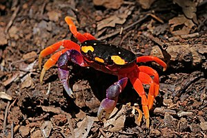 Pacific land crab (Gecarcinus quadratus).jpg