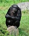 Pan troglodytes - Serengeti-Park Hodenhagen 04.jpg