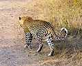 Panthera pardus Kruger Park.JPG
