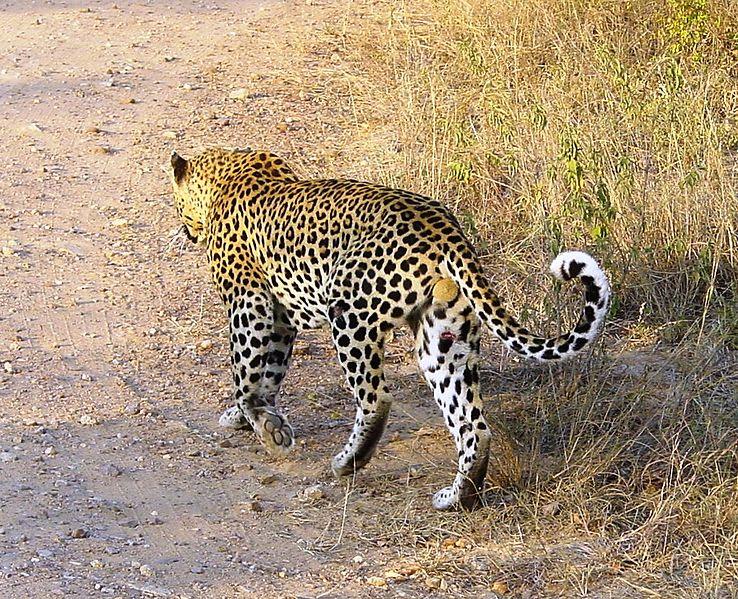 Datei:Panthera pardus Kruger Park.JPG