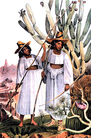 United States and Mexican Boundary Survey - Native Americans of the Tohono O'odham (Papago) Tribe harvesting Organ Pipe Cactus fruit, from the Report