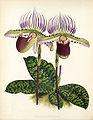 Paphiopedilum lawrenceanum.jpg