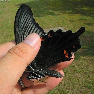 Papilio protenor - Papilio protenor demetrius