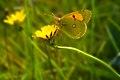 Papillon-Colias-crocea.jpg