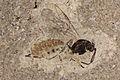 Parasitic-wasp.JPG
