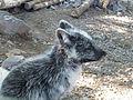 Parc animalier de Sainte-Croix-Renard polaire (1).jpg