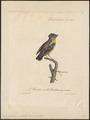 Pardalotus punctatus - 1825-1834 - Print - Iconographia Zoologica - Special Collections University of Amsterdam - UBA01 IZ16600325.tif