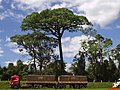 Parque Estadual de Vassununga - Maior concentração de Jequitibás-Rosa(Cariniana legalis) do Estado de SP - panoramio.jpg