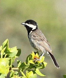 Parus afer -Namaqua National Park, Northern Cape, South Africa -adult-6.jpg