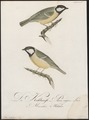 Parus major - 1800-1812 - Print - Iconographia Zoologica - Special Collections University of Amsterdam - UBA01 IZ16100105.tif
