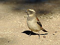 Passer melanurus (female).jpg