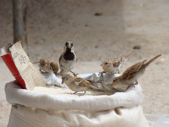 Passer - A mixed group of Passer sparrows containing a Eurasian tree sparrow, a male house sparrow, and female house or Spanish sparrows, feeding on grain in the town of Baikonur, Kazakhstan