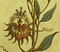 Passiflora Bluete.jpg