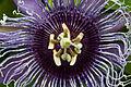 Passion flower (5873638797).jpg