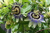 Passion flower blooms