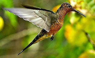 Giant hummingbird - Patagona gigas in Chile